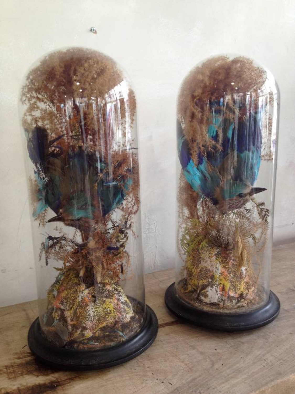 Pair of  Taxidermy birds in glass domes