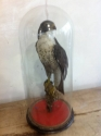 Peregrine falon Taxidermy - picture 1