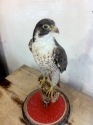 Peregrine falon Taxidermy - picture 2