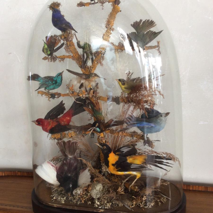 Taxidermy Birds of Paradise