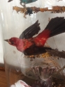 Taxidermy Birds of Paradise - picture 5