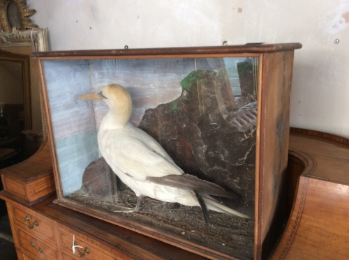 Taxidermy cased Gannet