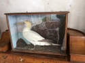 Taxidermy cased Gannet - picture 2