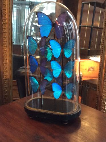 Victorian dome and butterfly display