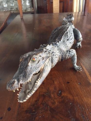 3ft Long Taxidermy Crocodile