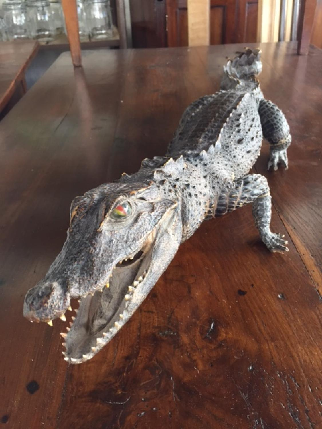 3ft Long Taxidermy Crocodile