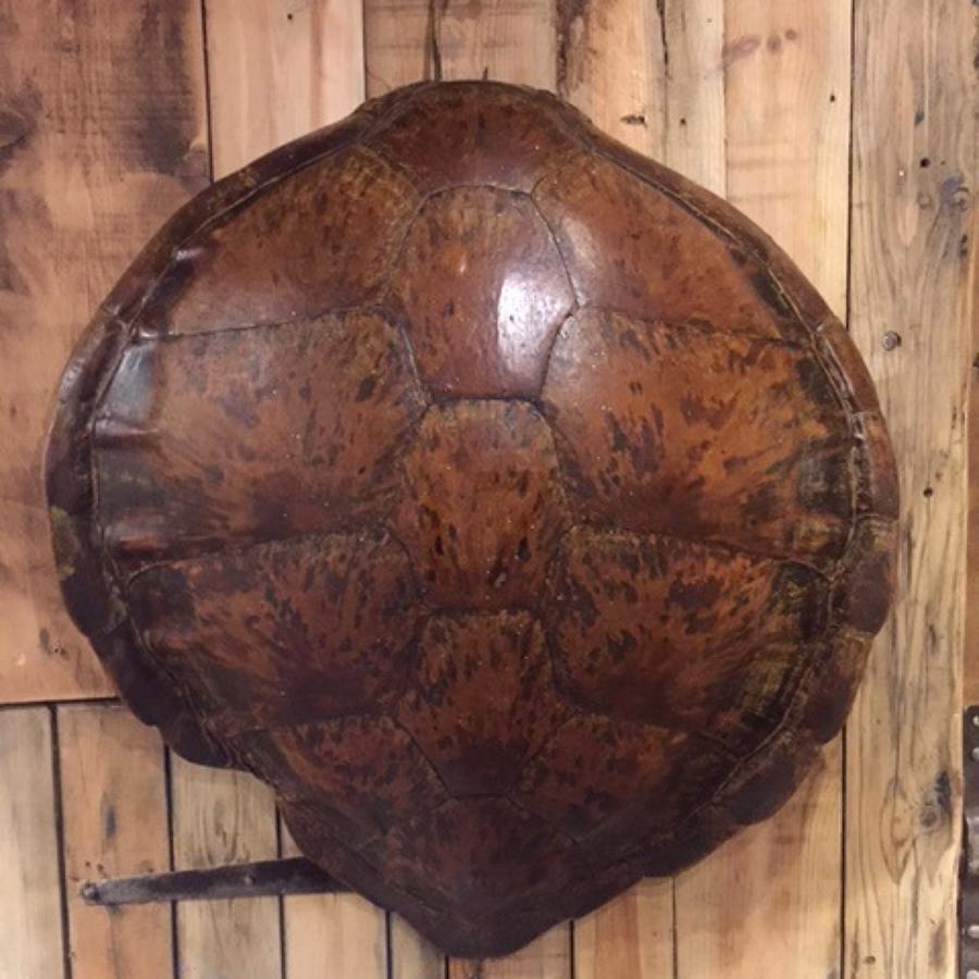 Large Turtle Carapace Circa 1900