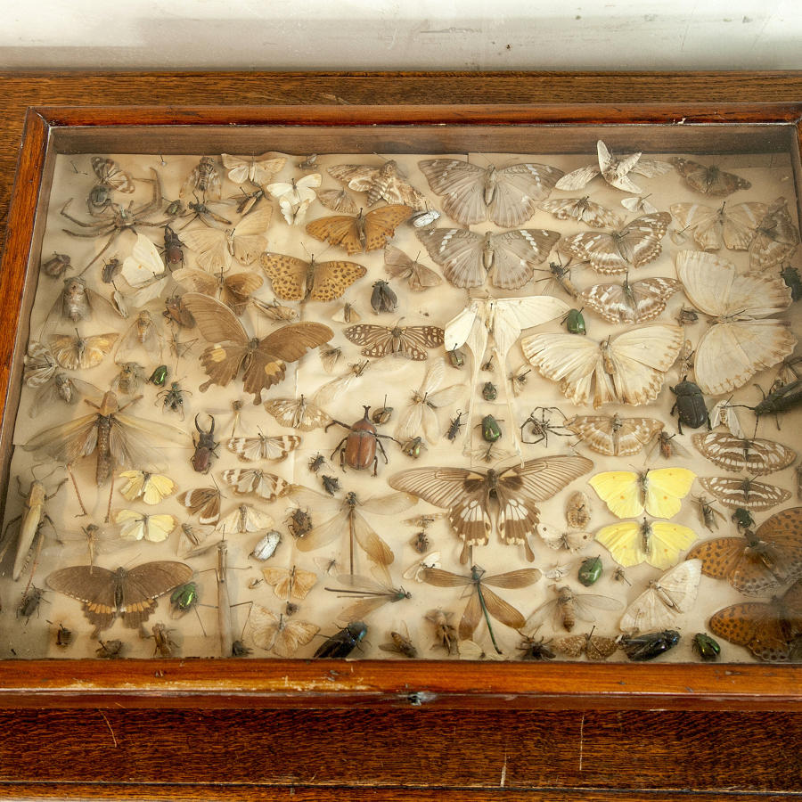 Victorian Butterfly display case