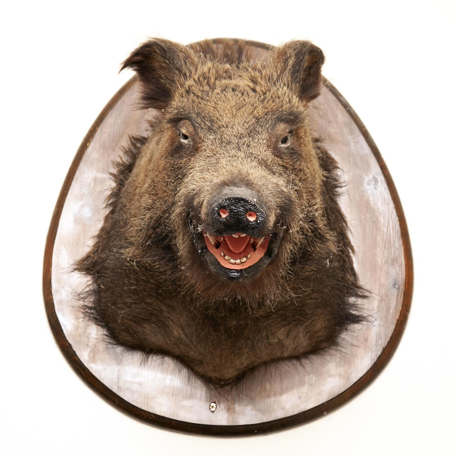Taxidermy Boars Head
