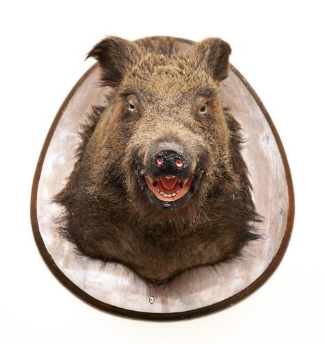 Taxidermy Boars Head