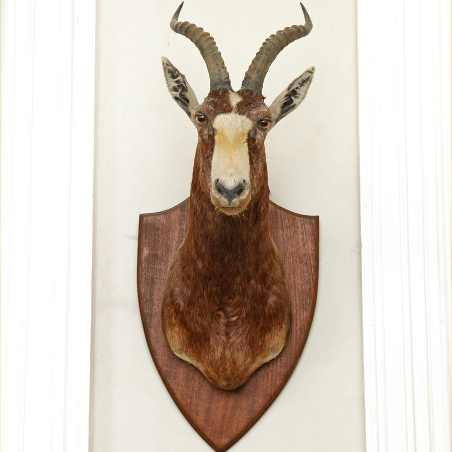 An Atique Taxidermy Antelope's head