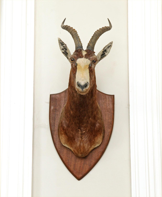 An Atique Taxidermy Antelope's head